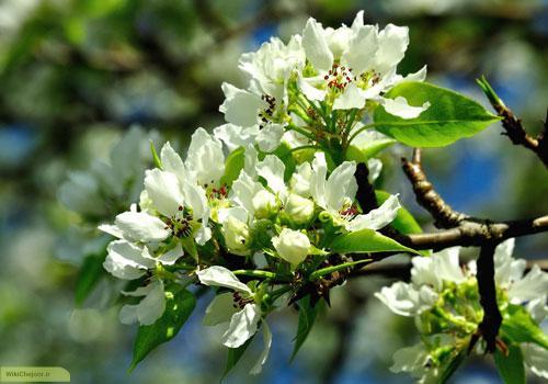 هرس درخت گلابی
