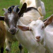 چگونه گوسفند را ذبح کنیم تا حلال باشد؟