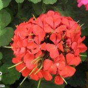 چگونه گل شمعدانی رانگهداری کنیم؟