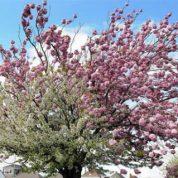 چگونه درخت گیلاس بکاریم؟