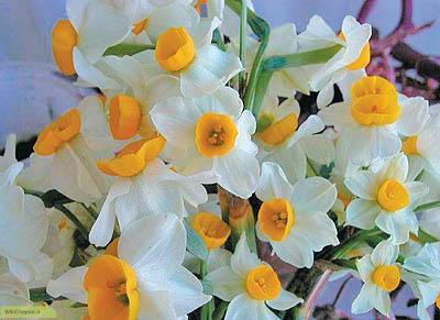 چگونه گل نرگس پرورش دهیم