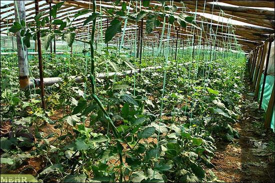 کاشت خيار در گلخانه