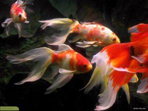 wallpaper-goldfish