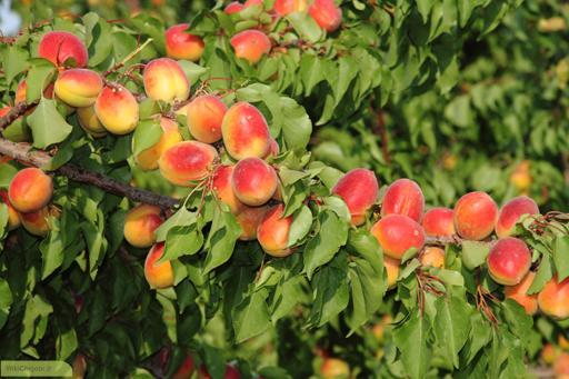 تکثیر درخت زردآلو