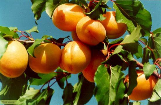 پرورش درخت زردآلو