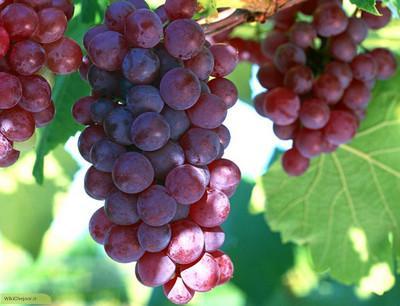 چگونه انگورقرمز فرنگی (مویز)رشد و پرورش داده میشود؟