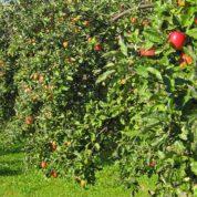 چگونه عملیات هرس درخت سیب انجام میگیرد؟