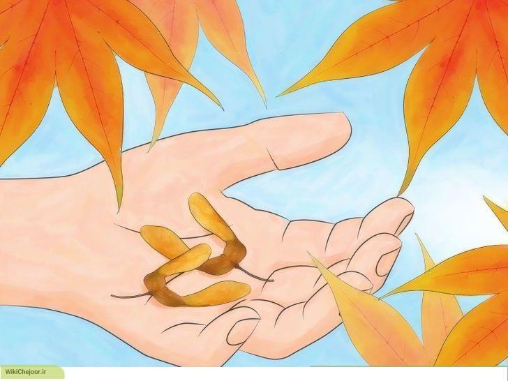 چگونه بذر درخت افرا را در خانه بکاریم؟