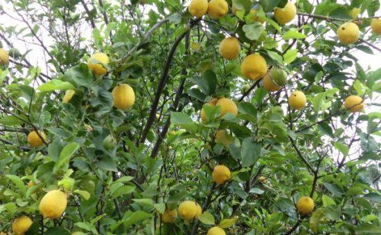 چگونه درخت لیمو را هرس کنیم؟