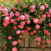 چگونه گل محمدی پرورش دهیم؟