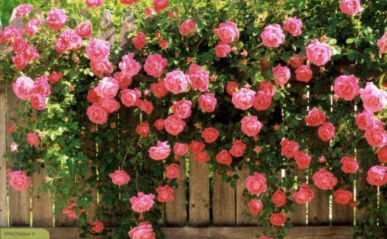 کاشت گل محمدی | چگونه گل محمدی پرورش دهیم؟