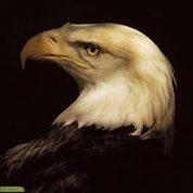 چگونه عقاب دوباره متولد می شود؟