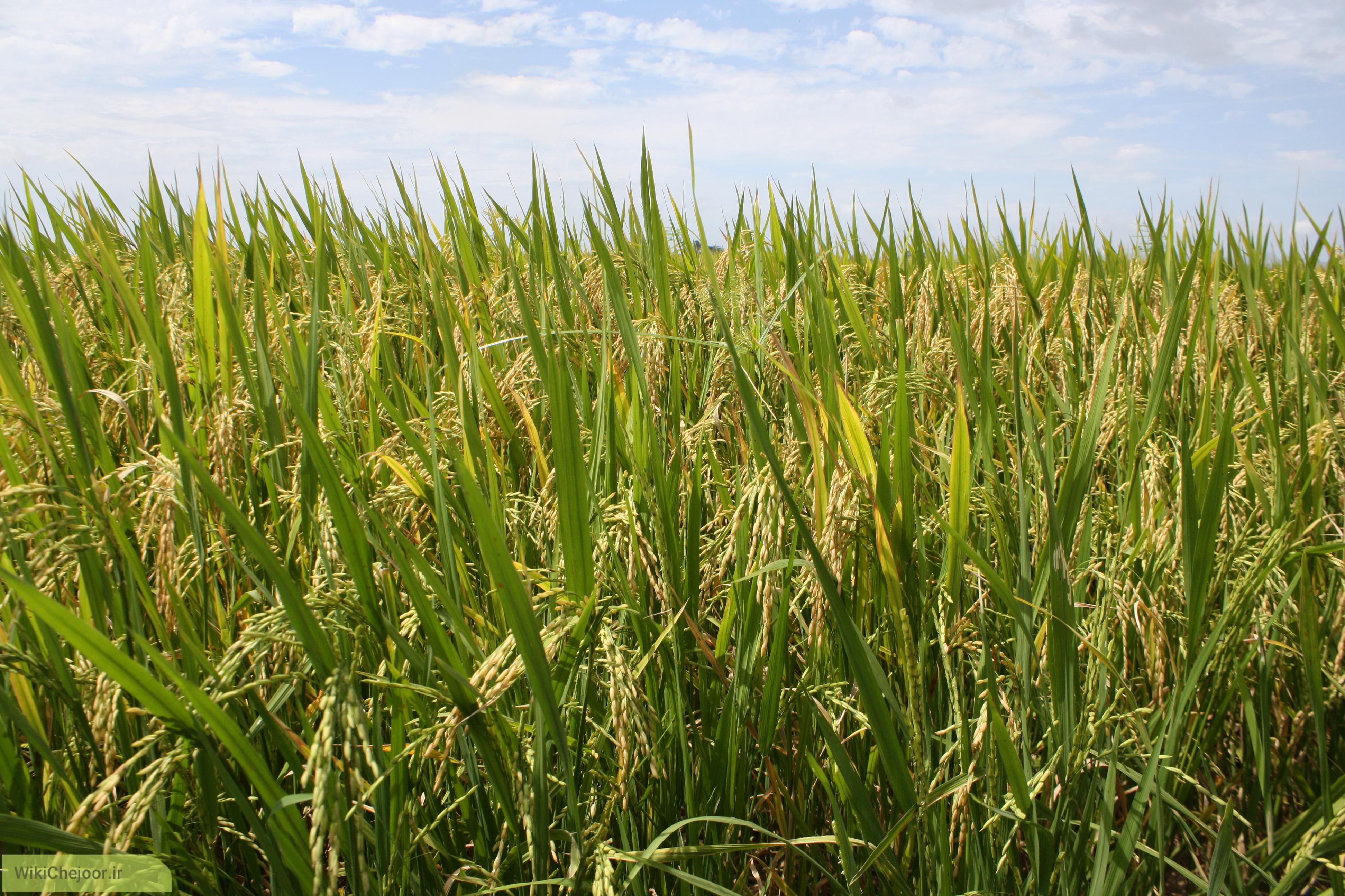 چگونه برنج بکاریم؟