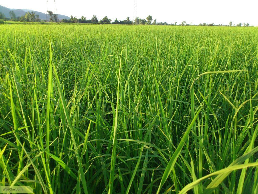 میتوانید برای خودتان برنج بکارید؟