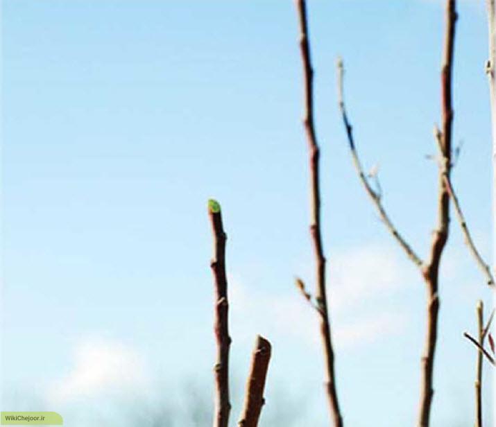 مراحل ثانویه هرس درخت سیب
