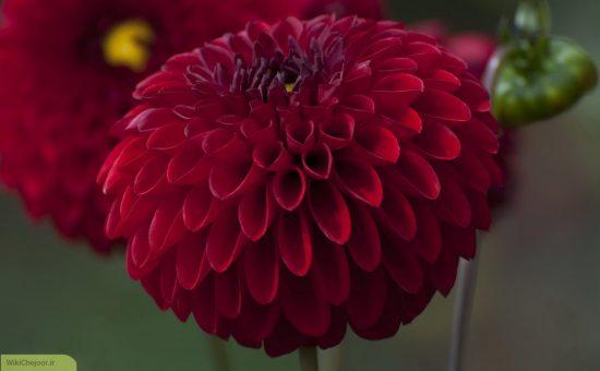 چگونه گل کوکب پرورش دهیم؟