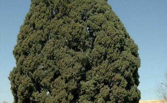 چگونه درخت کاج بکاریم؟