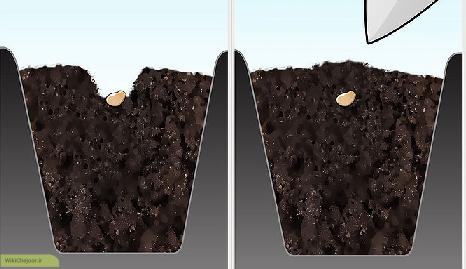کاشت بذر فلفل در سینی نشا