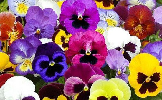 چگونه از گل بنفشه آفریقایی نگهداری کنیم؟