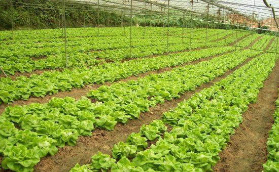چگونه درخانه کاهو پرورش دهیم؟