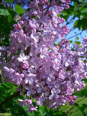 چگونه گل یاس بنفش پرورش دهیم؟