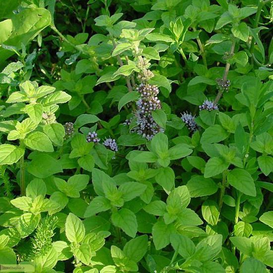 اماده سازی برای کاشت گیاه نعناع