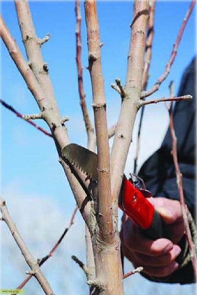 مراحل اولیه هرس درخت سیب