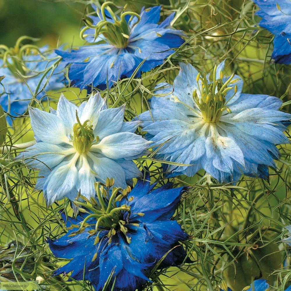 چگونه گل سیاهدانه پرورش دهیم؟