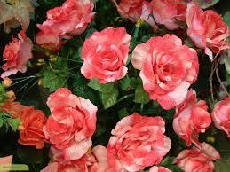 میزان تشنگی گل میخک را کاهش دهید
