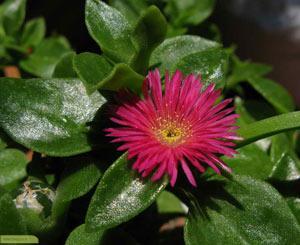 چگونه گل یخی پرورش دهیم؟