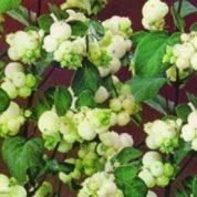 چگونه گل مروارید عطری بکاریم؟