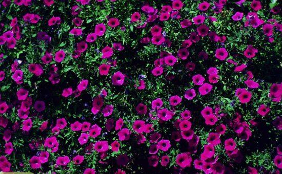 چگونه گل اطلسی پرورش دهیم؟