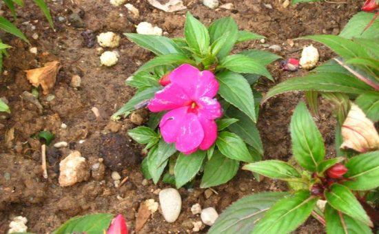 چگونه گل حنا پرورش دهیم؟
