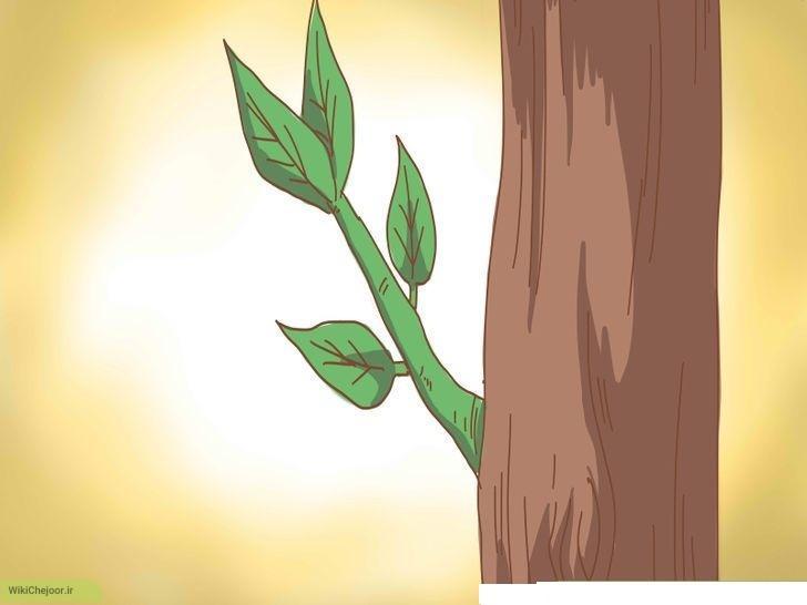 مراحل کامل هرس درخت لیمو