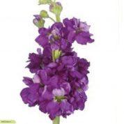 چگونه گل شب بو بکاریم؟