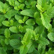 چگونه گیاه نعناع بکاریم؟