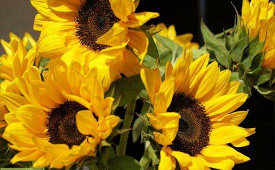 چگونه گل افتابگردان بکاریم؟