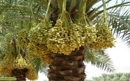 فواید تکثیر درخت خرما به روش کشت بافت