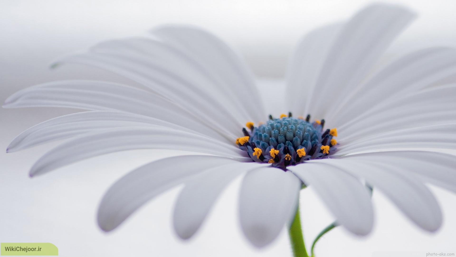 چگونه گل مینا ( ستاره ای) پرورش دهیم؟