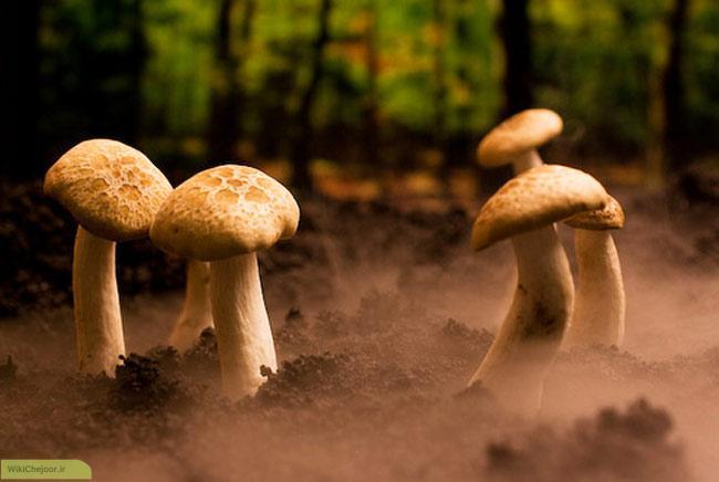 شرایط برای رشد و پرورش قارچ
