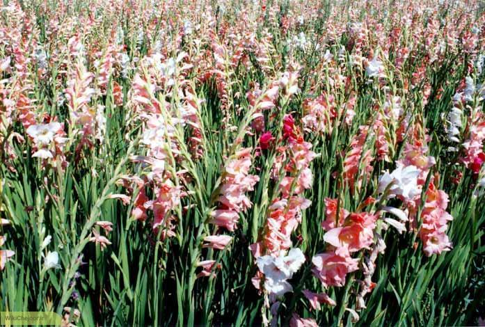 چگونه گل گلایل بکاریم؟