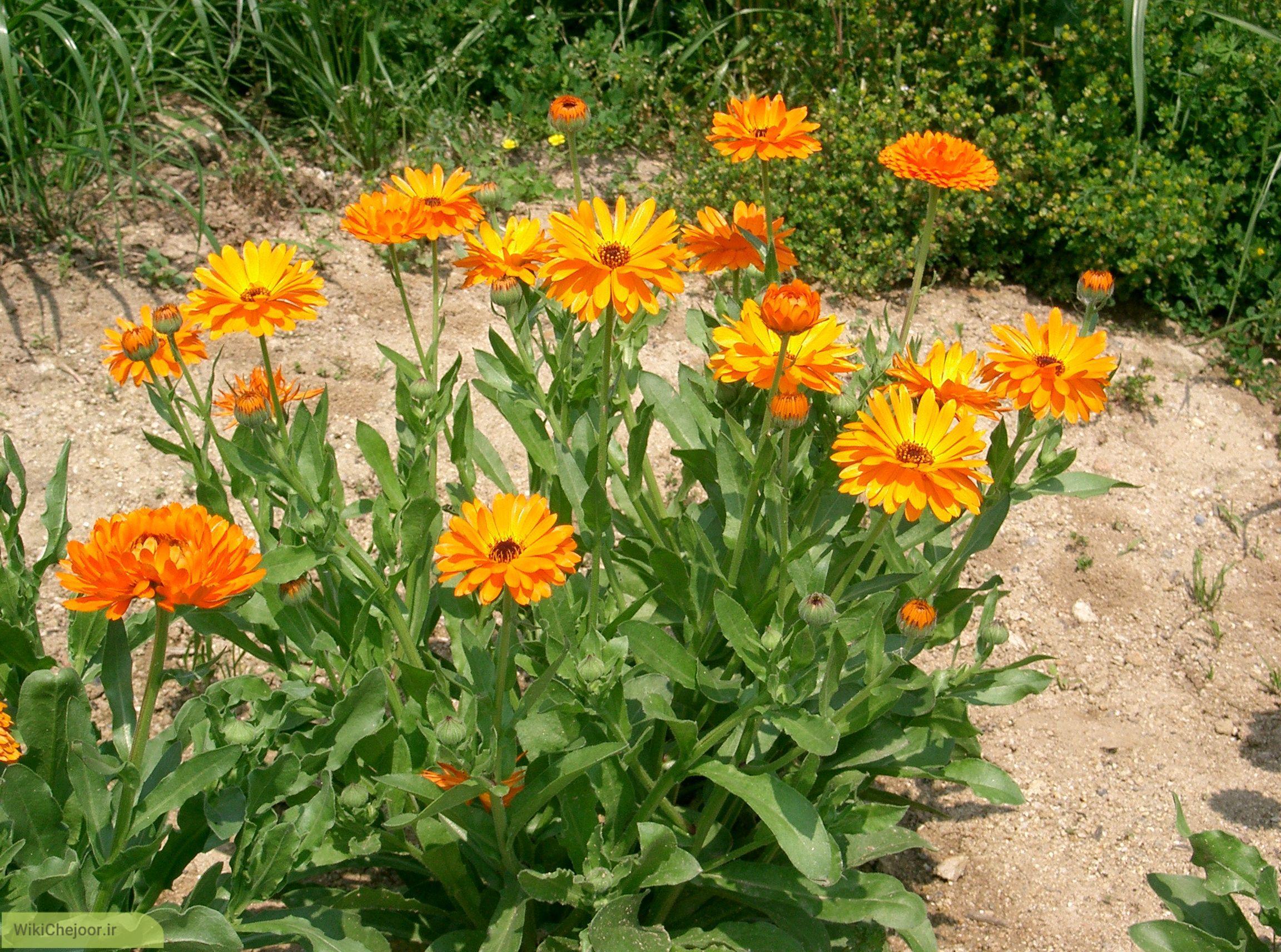 چگونه گل همیشه بهار بکاریم؟