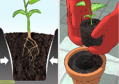 انتقال گیاه فلفل از سینی نشا به گلدان