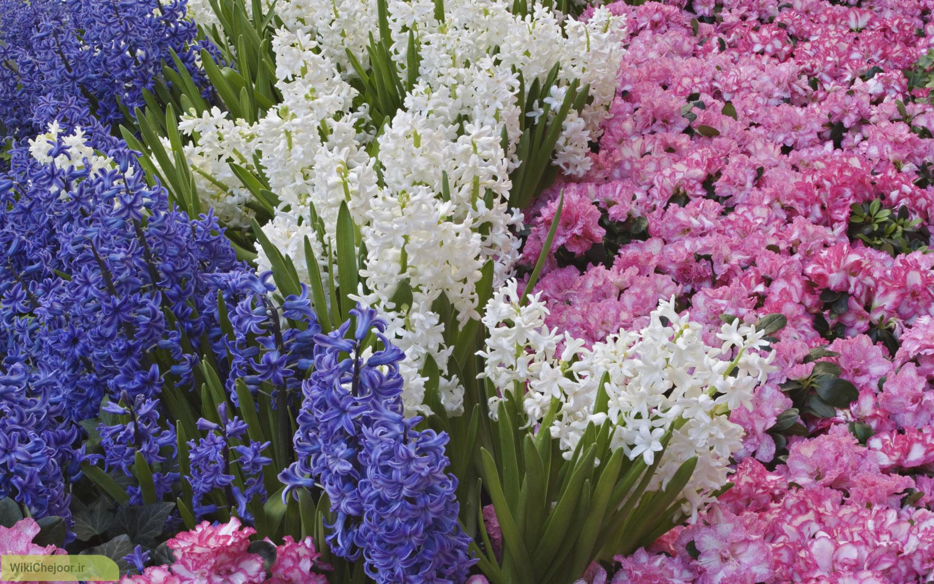 چگونه گل سنبل پرورش دهیم؟