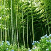 چگونه گیاه بامبو ژاپنی پرورش دهیم؟