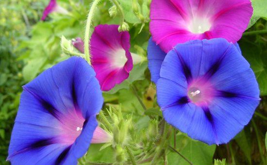 چگونه گل نیلوفر پیچ پرورش دهیم؟