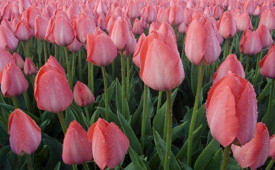 چگونه گل لاله پرورش دهیم؟