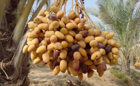 چگونه درخت خرما(نخل) بکاریم؟