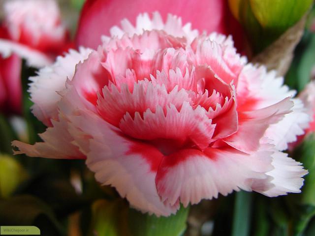 چگونه از گل میخک مراقبت کنیم؟