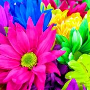 چگونه گل داوودی پرورش دهیم؟